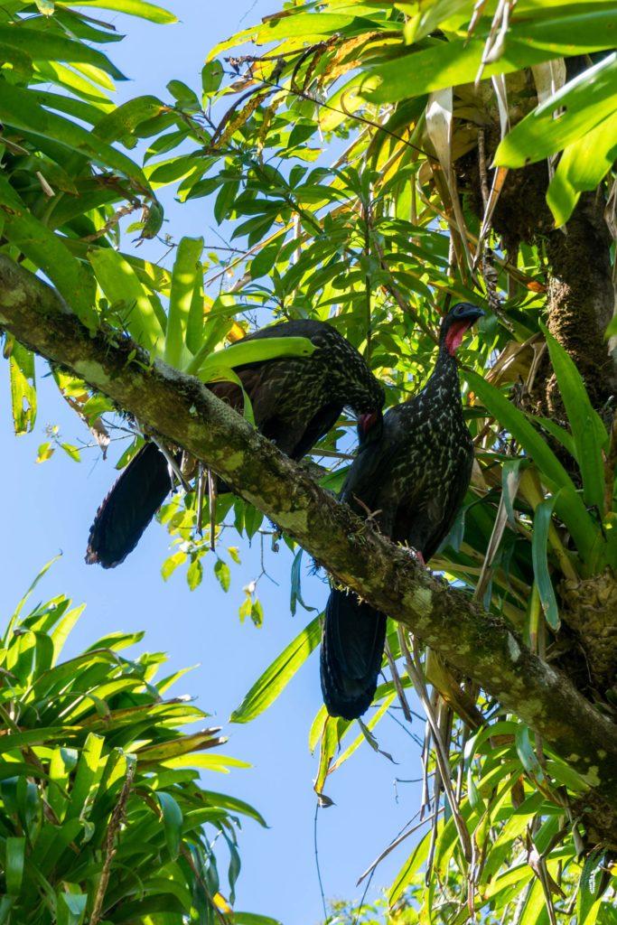 Vögel: Rostbauchguane