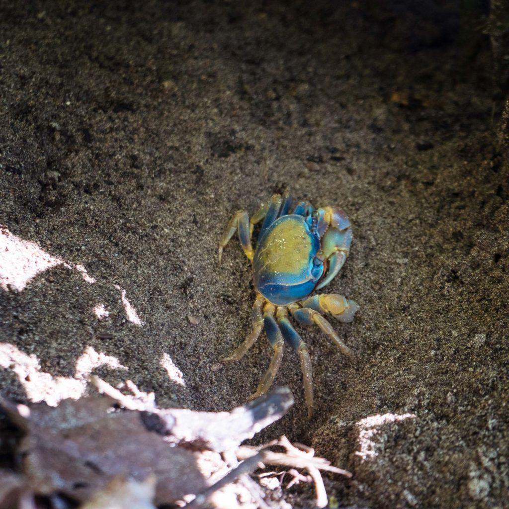 Blaue Landkrabbe